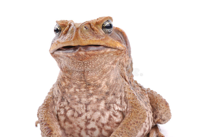 Cane Toad. Isolated on the white background and looking in the camera stock photos