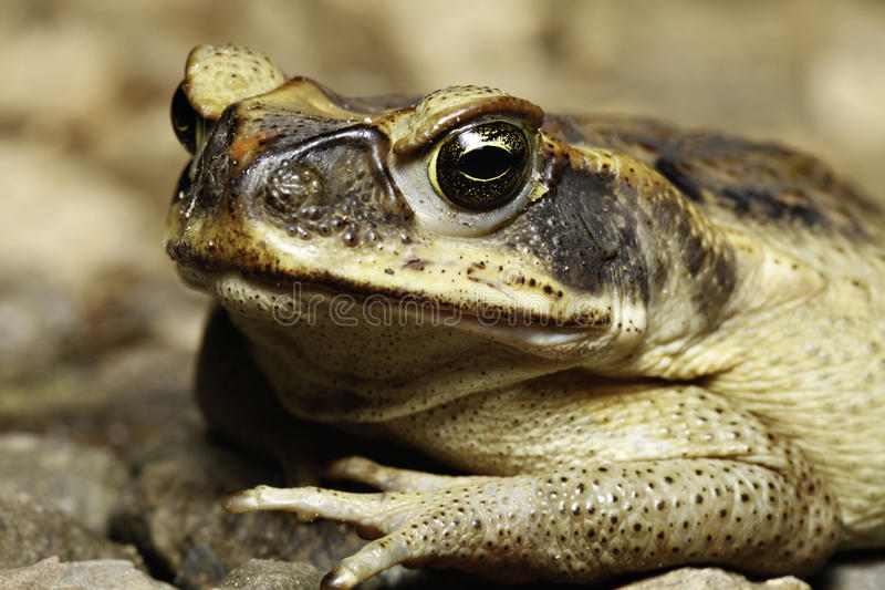 Download Cane toad stock photo. Image of amphibian, brown, marinus - 14159184
