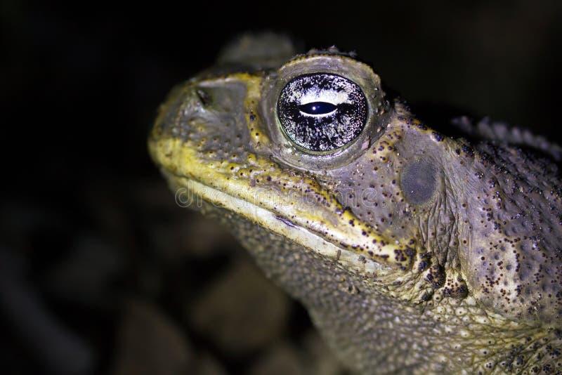 Cane Toad foto de archivo libre de regalías