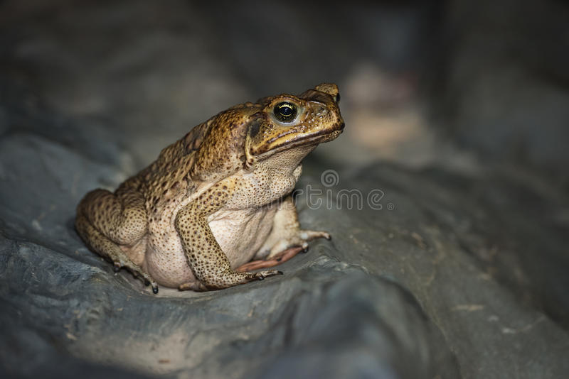 Cane Toad images stock
