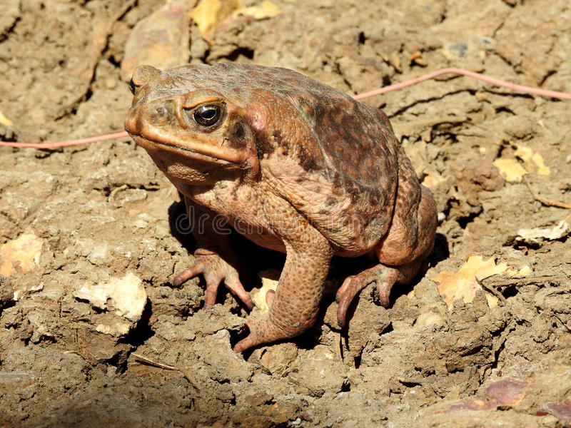Cane Toad royalty-vrije stock afbeeldingen