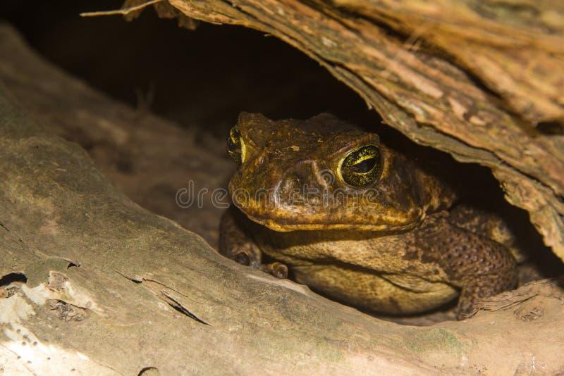 Cane Toad fotografie stock