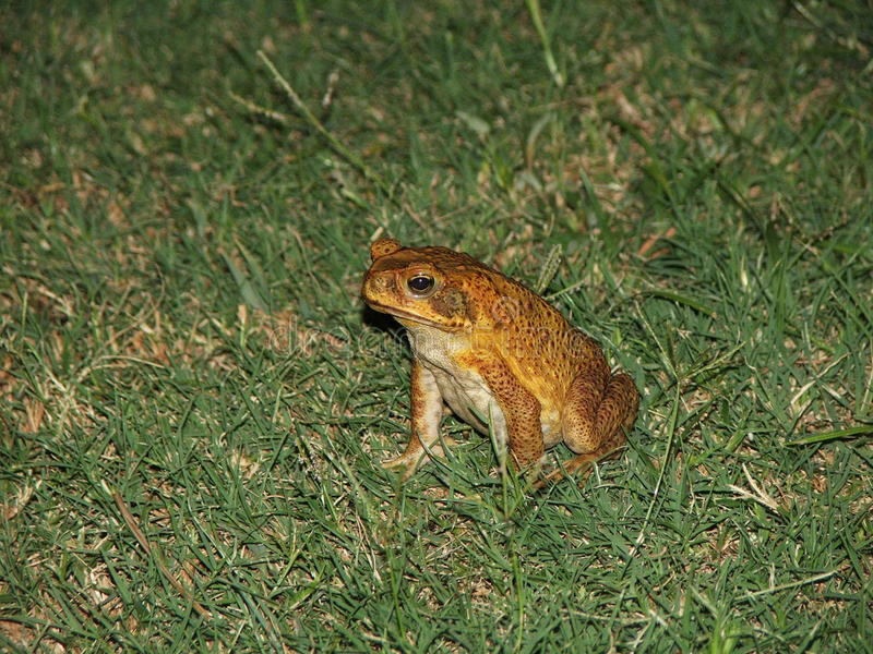 Cane Toad stock images