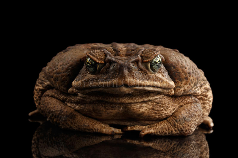 Cane Toad - Bufo marinus, giant neotropical, marine toad Black. Cane Toad - Bufo marinus, giant neotropical or marine toad on Black Background, front view stock photo