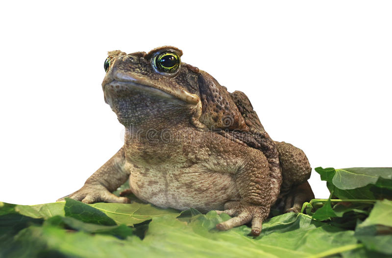 Cane toad. stock images