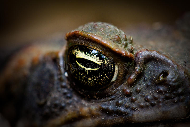 Cane toad eye. A close up shot of the eye and nostril of a Cane toad , Bufos marinus royalty free stock image