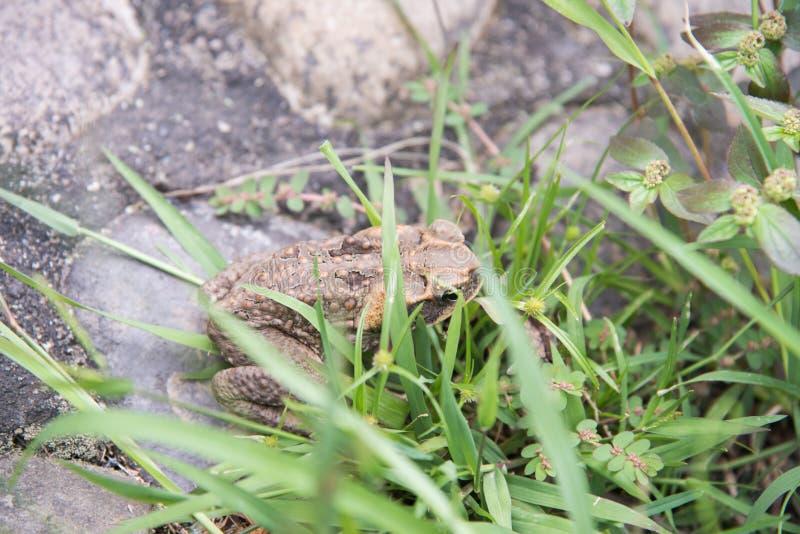 Cane Toad Hiding immagine stock libera da diritti