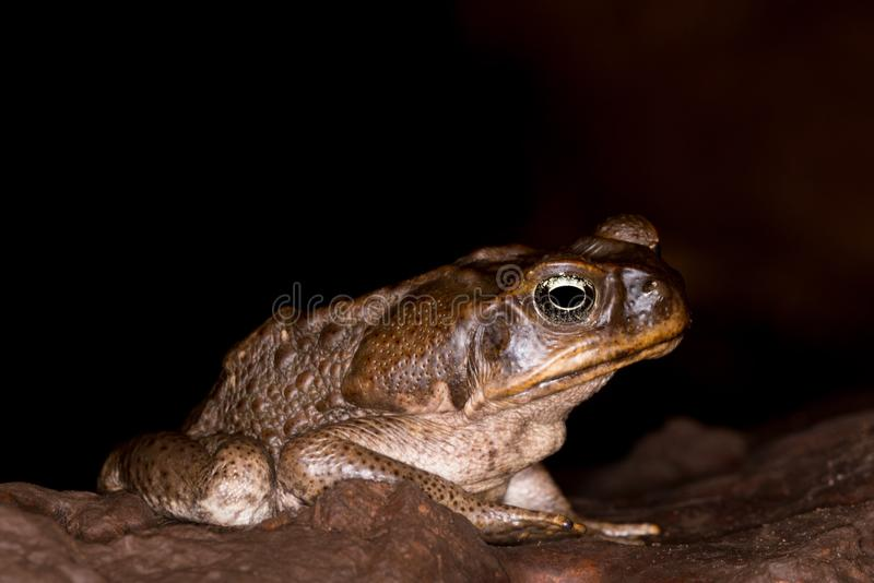 Cane toad + royalty free stock photo