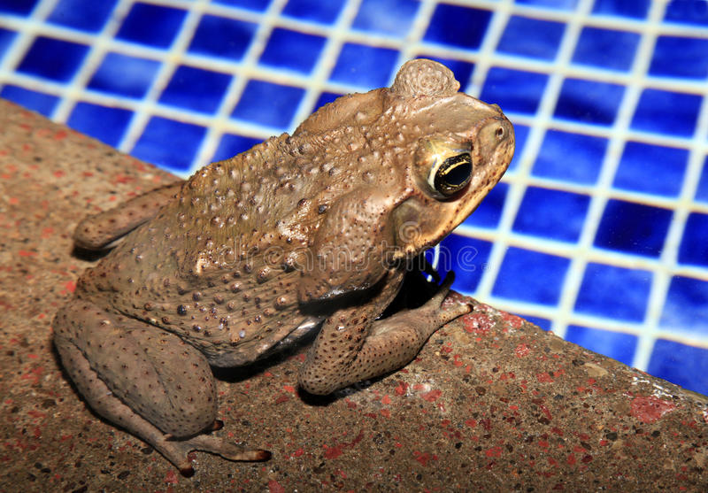 Cane Toad Sitting durch den Swimmingpool in Costa Rican Rain Fores lizenzfreie stockfotografie