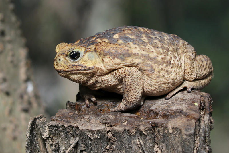 Cane Toad on a Stump. Cane Toad Rhinella marina sitting on a stump royalty free stock photography