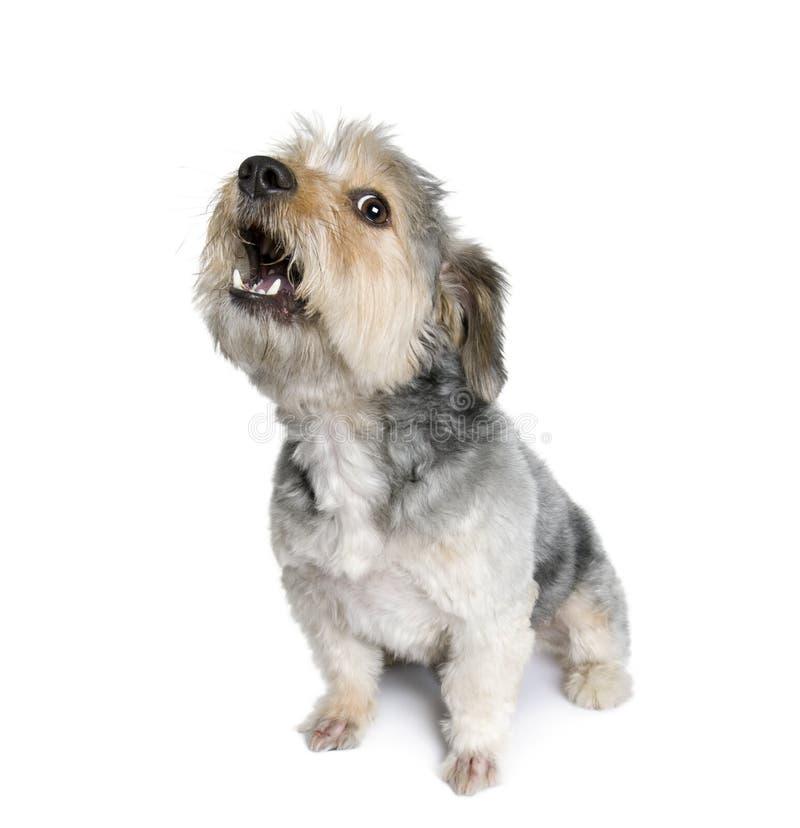 Cane trasversale della razza davanti a priorità bassa bianca fotografie stock libere da diritti