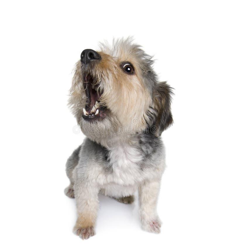 Cane trasversale della razza davanti a priorità bassa bianca immagini stock