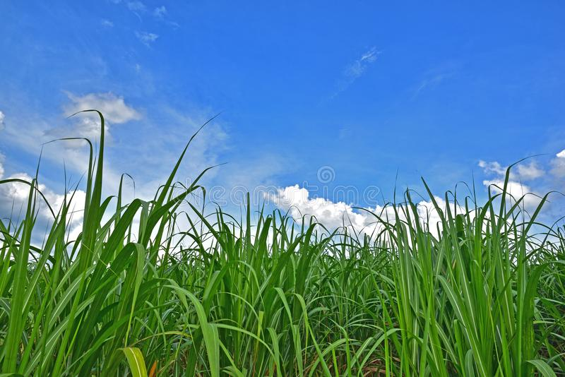 Cane tree under blue sky and white cloud. Cane trees under blue sky and white cloud along the way, an agricultural crops for processing into sugar at industries stock photography