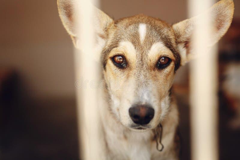 Cane triste che guarda con gli occhi infelici e le grandi orecchie nella gabbia del riparo, immagine stock