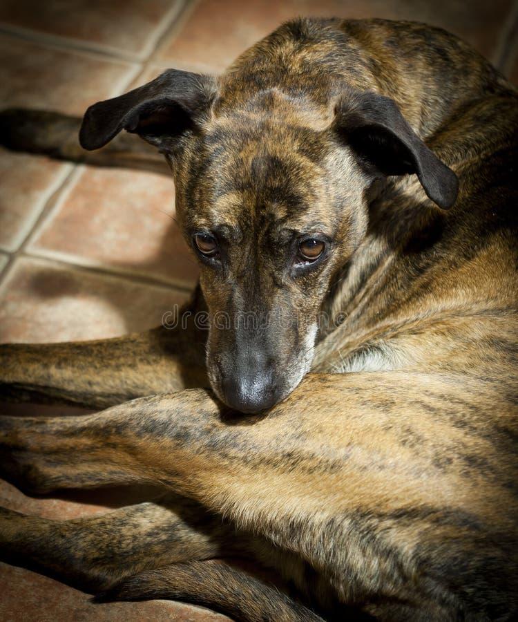 Cane triste che si trova sul pavimento a casa fotografia stock
