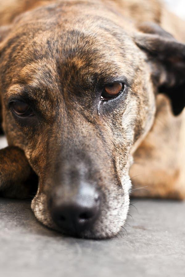 Cane triste che si trova sul pavimento a casa immagini stock libere da diritti