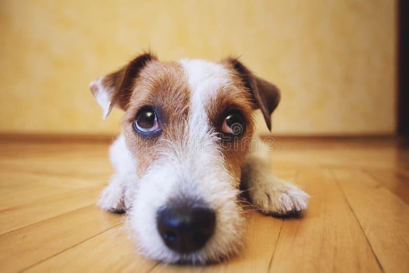 Cane triste che si trova sul pavimento a casa fotografia stock libera da diritti