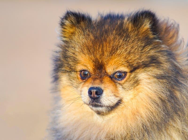 Cane, un cucciolo bello piccolo Spitz del cucciolo sui precedenti della sabbia e della spiaggia cane sorridente divertente con un immagine stock libera da diritti