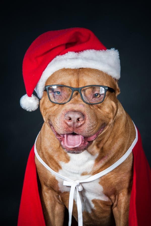 Cane, un pitbull in costume del ` s di Santa, un anno del cane, una cartolina di Natale immagine stock
