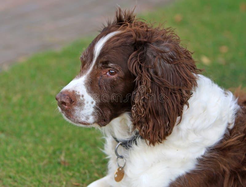 cane vecchio fotografia stock