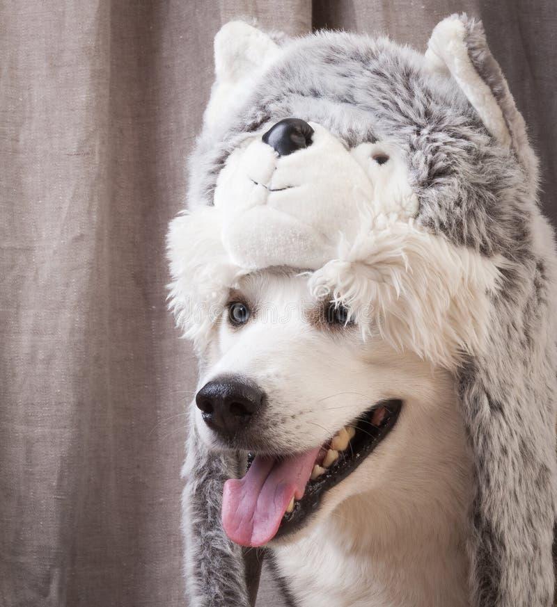 Cane vestito su come il gatto fotografie stock