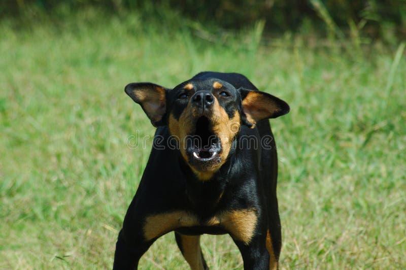 Cane vizioso fotografia stock
