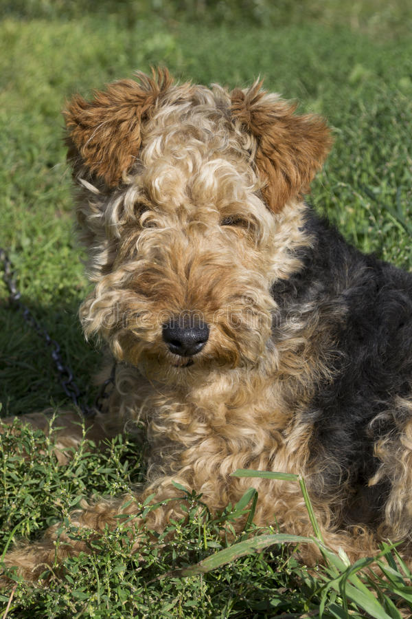 Cane - Welsh terrier immagini stock