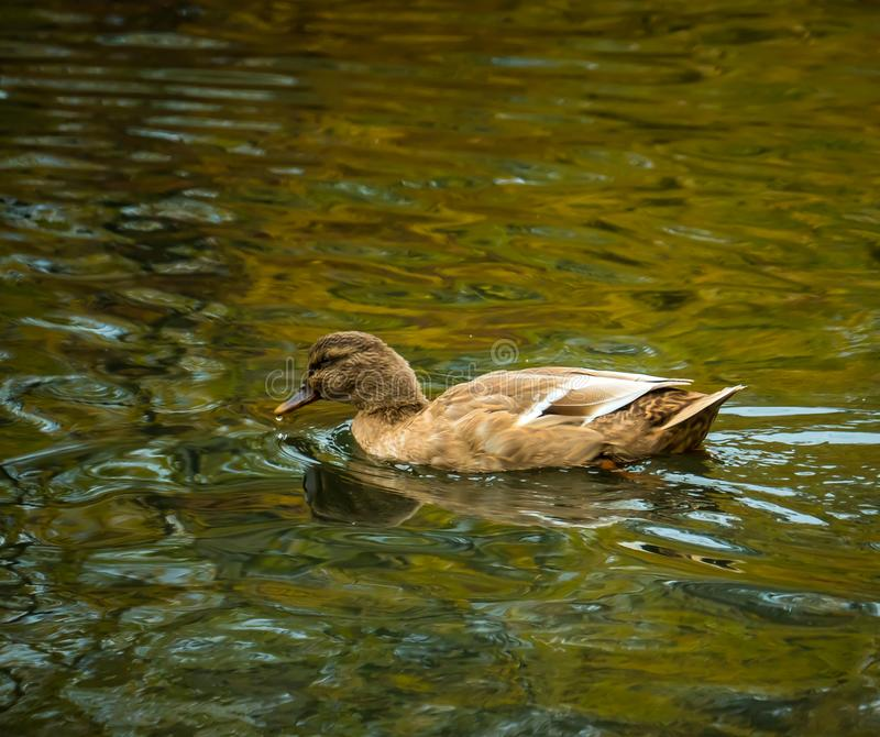 Canela Teal Dabbling Duck imagem de stock