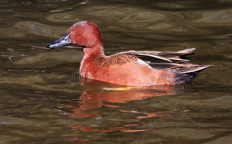 Canela Teal Duck Drake fotos de stock royalty free