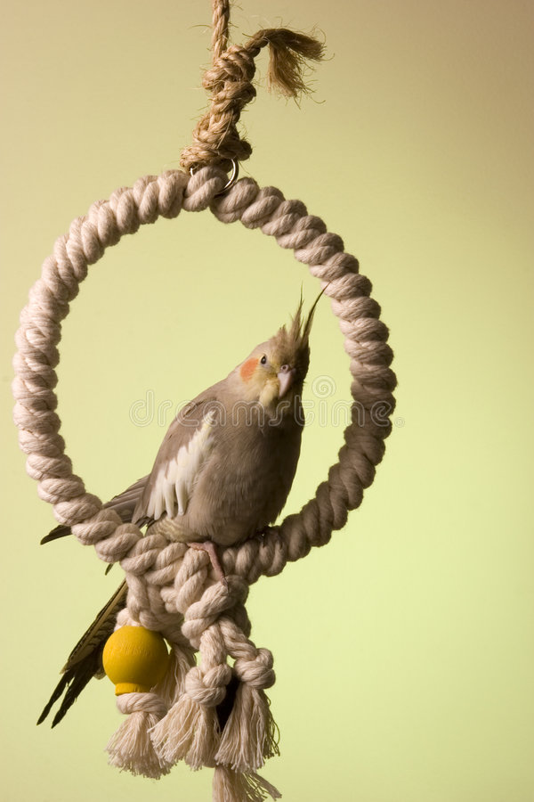 Free Canelle The Cockatiel 3 Royalty Free Stock Photography - 660557