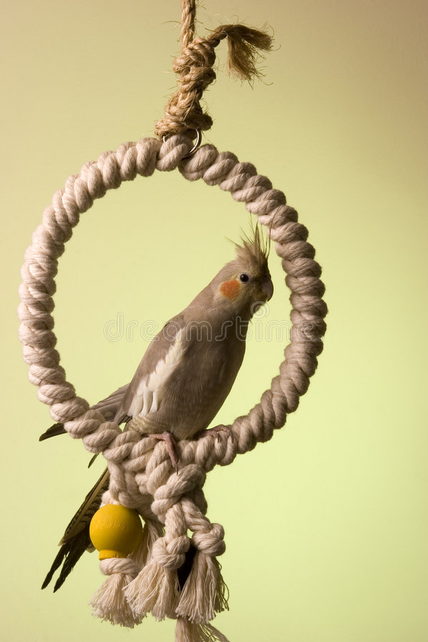 Free Canelle The Cockatiel 4 Royalty Free Stock Image - 660556