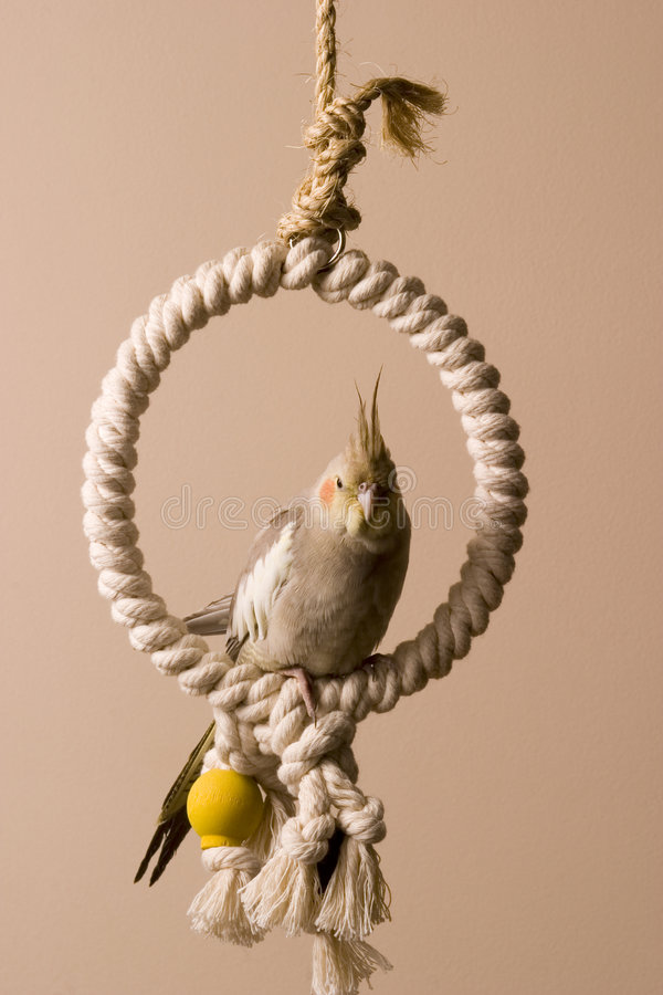 Free Canelle The Cockatiel 5 Stock Images - 660554