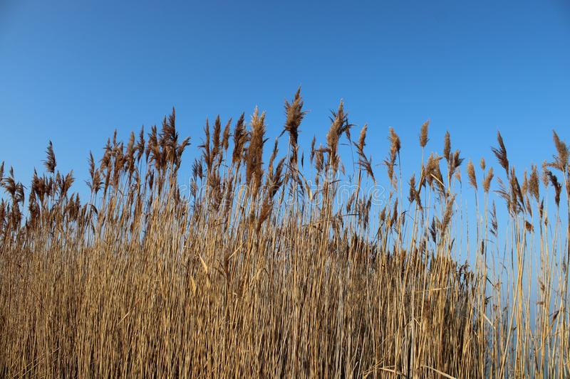 Canes with blue sky. In wintertime royalty free stock image