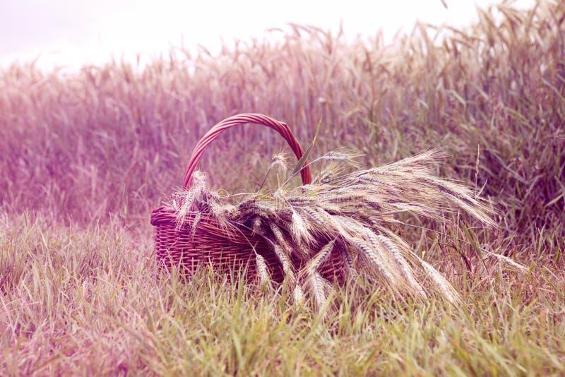 Canestro con grano davanti al campo di mais fotografie stock libere da diritti