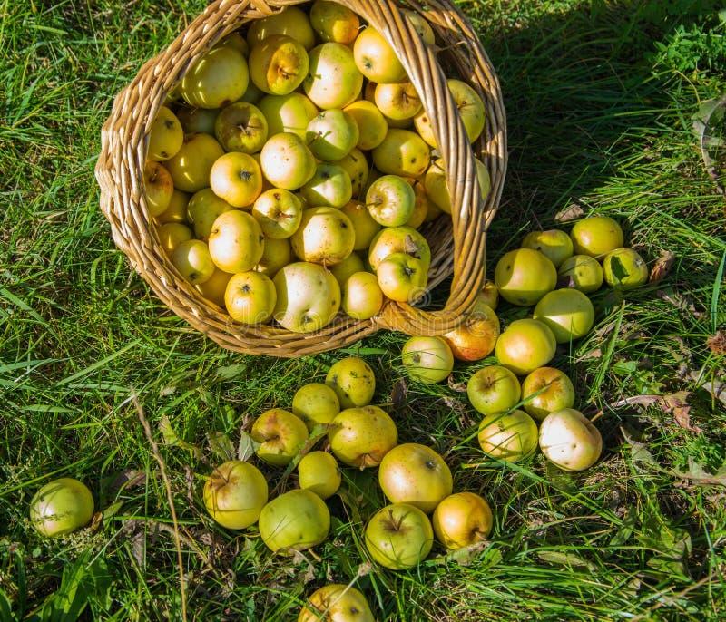 Canestro con i raccolti delle mele verdi e gialle nel giardino Canestro dei frutti freschi, maturi, organici nel giardino fotografia stock libera da diritti