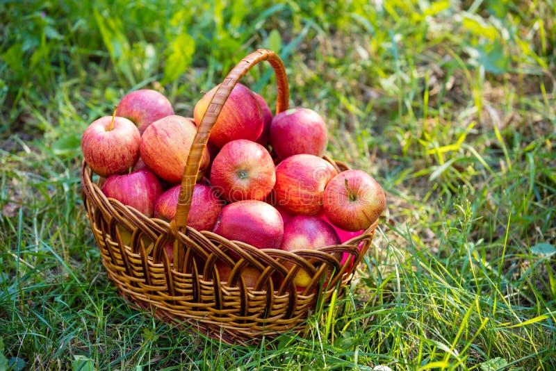 Canestro con le mele mature rosse fotografia stock