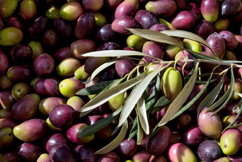 Canestro con le olive mature Concetto del raccolto - cuisi Mediterraneo immagini stock libere da diritti