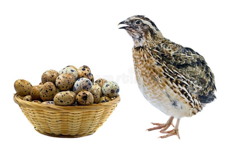 Canestro con le uova e la gallina adulta della quaglia immagini stock libere da diritti