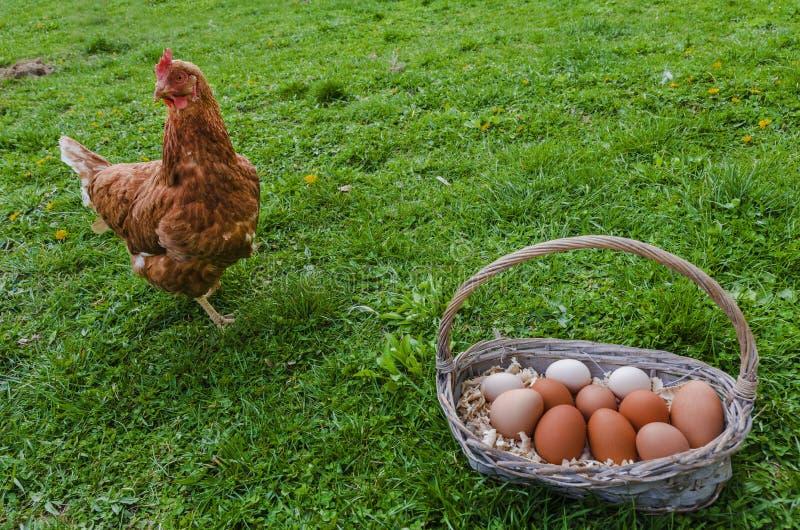 Canestro dell'uovo e del pollo fotografia stock libera da diritti