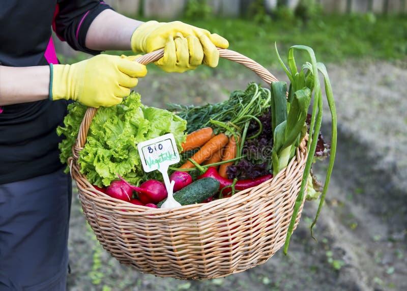 Canestro della tenuta dell'agricoltore con le bio- verdure sane immagini stock libere da diritti