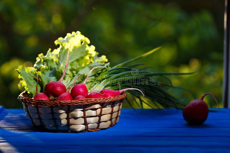 Canestro delle cipolle di inverno di recente selezionate delle verdure della molla, ravanello fotografia stock libera da diritti