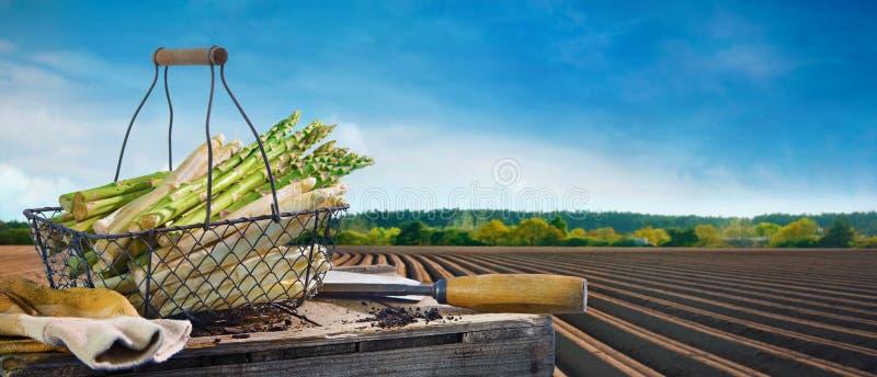 Canestro di asparago bianco e verde davanti al giacimento dell'asparago fotografia stock