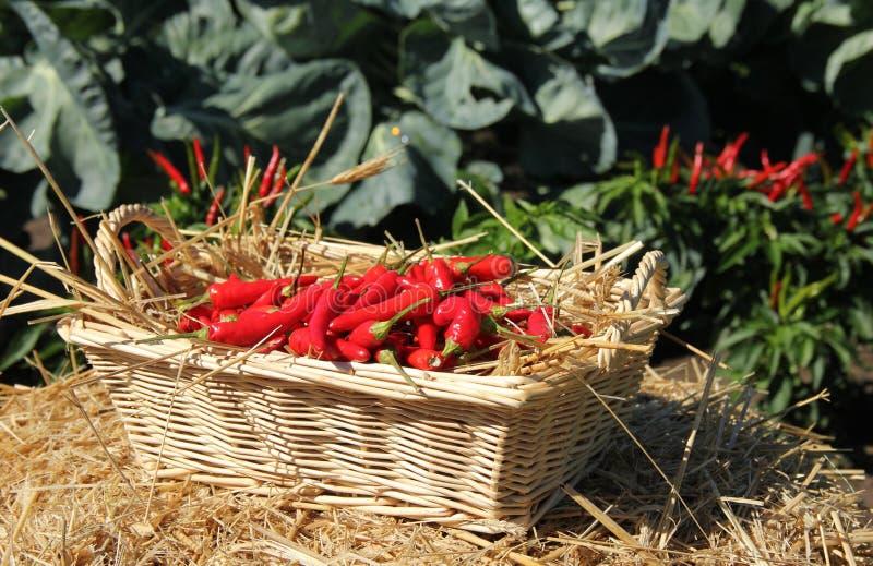 Canestro di vimini dei peperoni caldi di Chilie fotografia stock