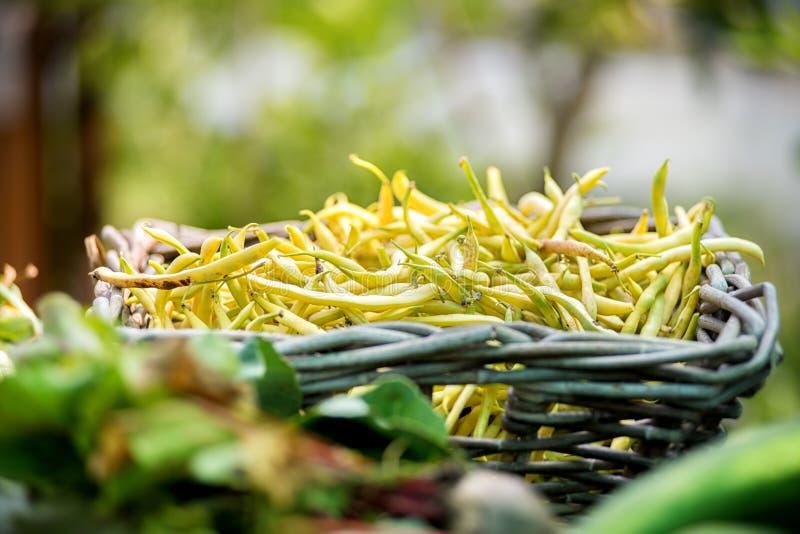 Canestro rustico dei fagioli gialli appena raccolti fotografie stock
