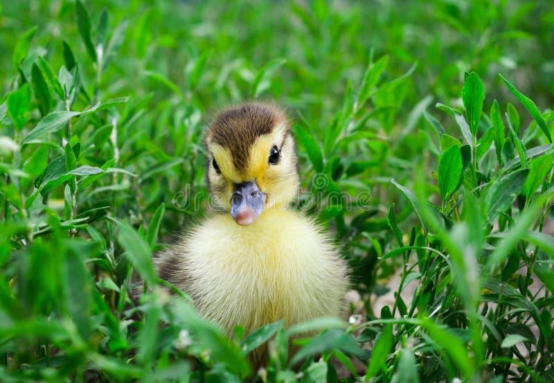 Caneton d'un canard musqué, Indo-canard sur la promenade dans une herbe images stock