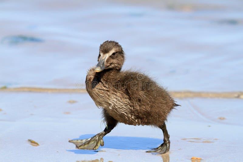 Caneton de canard d'Eider photographie stock libre de droits