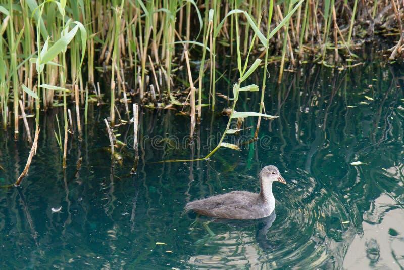 Caneton par les roseaux, quais de Surrey, Londres, R-U photographie stock libre de droits