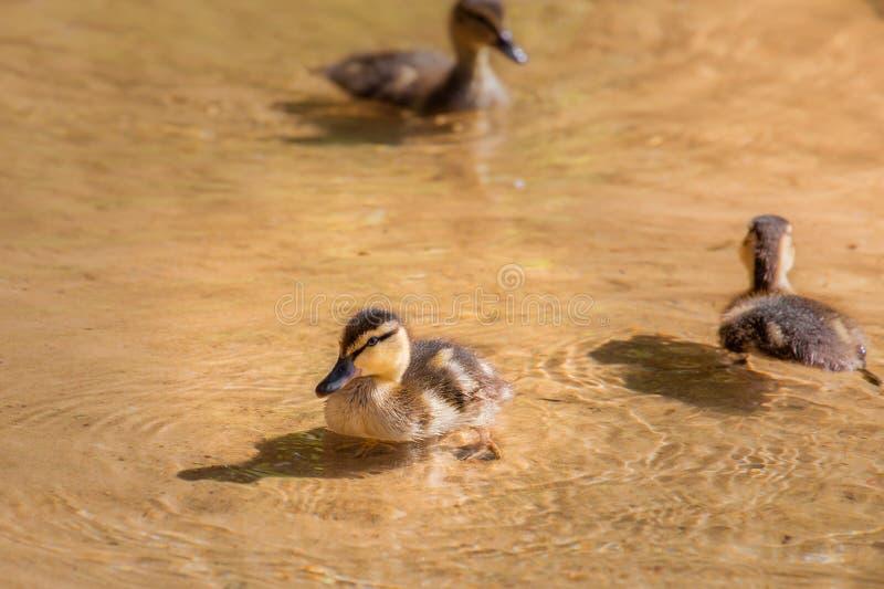 Canetons dans l'eau transparente photo libre de droits