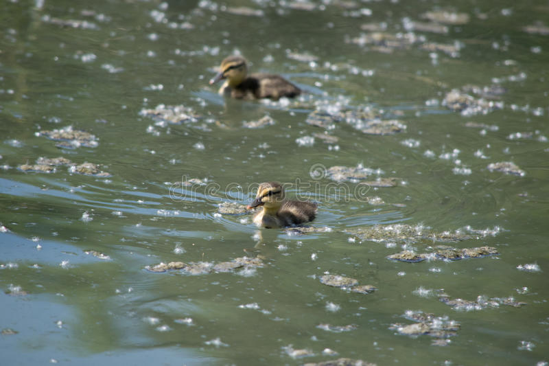 Canetons de canard de Mallard photographie stock