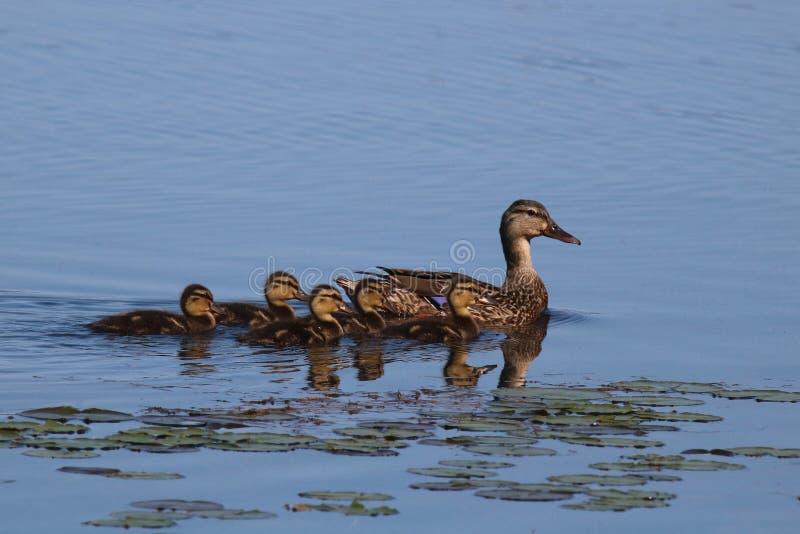 Canetons de Mallard restant près du canard de mère image libre de droits